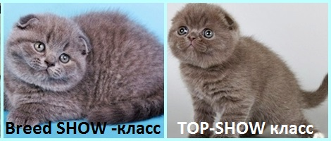 kitten-breed-top