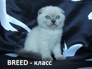 kitten-breed